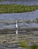 Great Egret, white wading bird, migratory in Maine