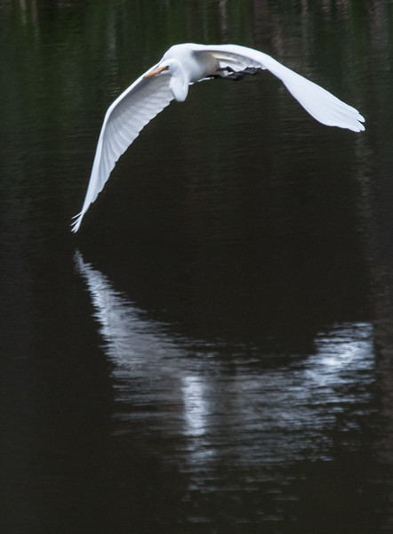 Great egret taking off and flying, West Bath, Maine, May 16, 2014
