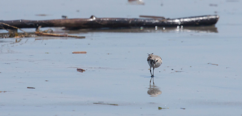 Semi-Palmated Sandpiper, Phippsburg Maine beach scene, May