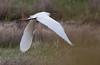 Snowy Egret Egretta thula