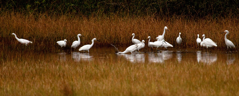 Snowy Egrets,  Egretta thula a migratory flock fishing in PHippsburg Maine, late summer, August