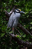 Yellow Crowned Night Heron perched in a tree in the swamps of the Everglades in South Florida. Though this bird was photographed in south Florida, we do have them in Maine on rare occassions. One has been reported in Sagadahoc County and several in Scarborough Marsh in southern Maine.