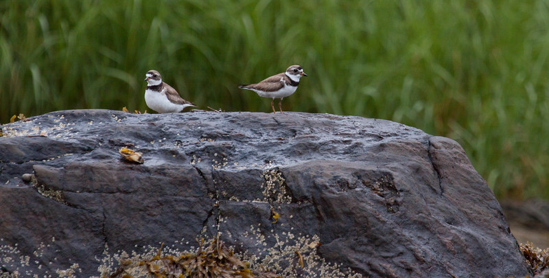 Semi-palmated plovers, Phippsburg, Maine migratory shore birds