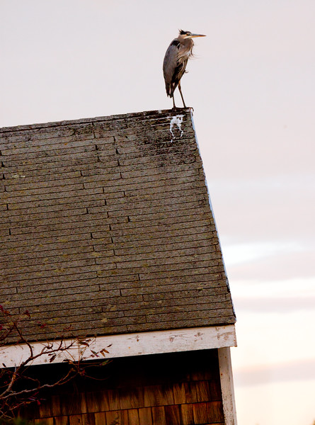 Great Blue Heron perched on roof top at dawn. This bird probably roosted there over night. Hermit Island, Phippsburg Maine