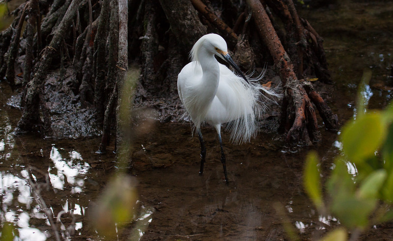 Snowy Egret. We have lots of Snowy Egrets, or SNEGS, as birders refer to them, in Maine. They are very migratory here, though. This was photographed in south Florida in March, 2013