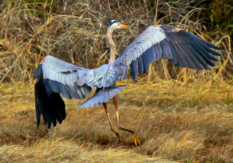 Great Blue Heron in flight, Small Point, spring, Phippsburg, Maine