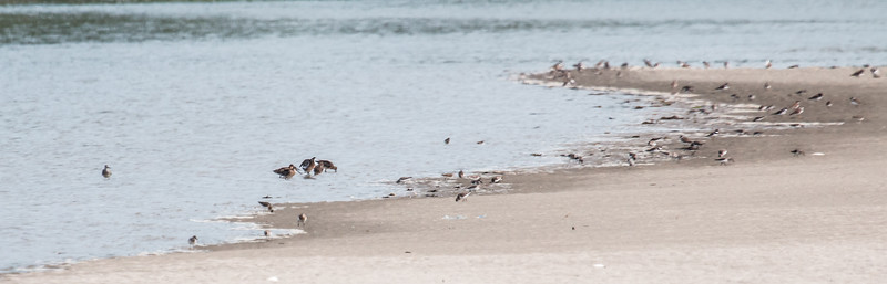 Migratory shorebirds staging for migration, July 26, 2014, Seawall Beach, Phippsburg Maine. Most of these birds were Semi-palmated Sandpipers, Semi-Palmated plovers and Sanderlings. There are five Short-billed dowitchers and one Lesser yellowleg in this photo.