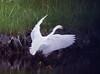 Egretta thula