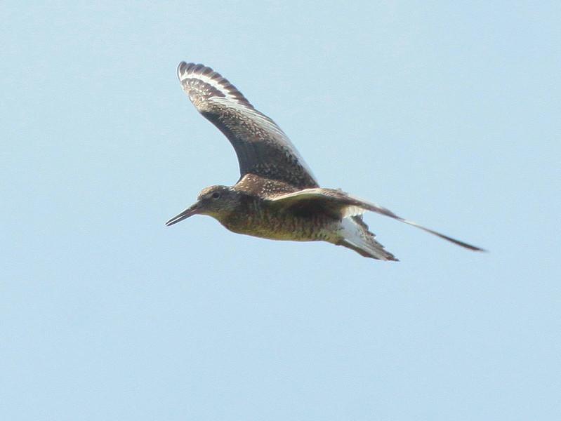 Willet in flight, migratory shorebirds in Maine, Phippsburg Maine near Popham Beach State Park