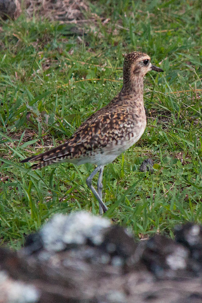 The Pacific Golden Plover (Pluvialis fulva) is a medium-sized plover. It breeds in the Arctic. This wader is highly migratory and winters in south Asia and Australasia. A few winter in California and Hawaii, USA. In Hawaii, the bird is known as the kolea. It is a very rare vagrant to western Europe. Until 1993, the Pacific Golden-Plover and the American Golden-Plover were considered one species. However, despite the very similar appearance between the two species, breeding habitat, breeding calls, and migration patterns are different, and it is thought the two species rarely, if ever, interbreed, despite being found in the same general region of western Alaska in the summer.