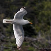BIRD IN FLIGHT AT WITLESS BAY ECOLOGICAL RESERVE