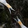 GANNETS SQUABBLING OVER TERRITORY
