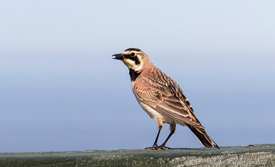 HORNED LARK WITH TASTY TIDBIT FROM GARDEN