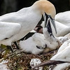 ABOUT TO FEED BABY GANNET