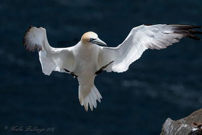 NORTHERN GANNET  AT CAPE ST. MARY'S ECOLOGICAL RESERVE