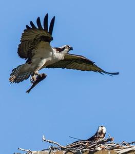 OSPREY BRINGING FISH INTO NESTING BOX. ANTENNA WIRE ON THE BACK OF THE MALE SITTING  IN THE NEST IS FOR TRACKING PURPOSES.