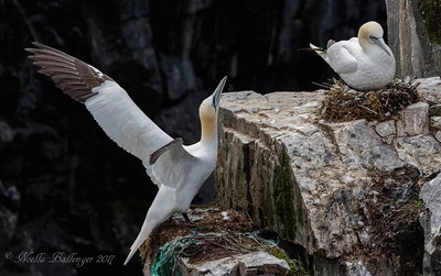 NESTING PAIR OF GANNETS