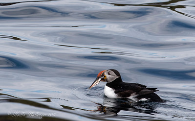 ATLANTIC PUFFIN WITH FISH.   THEY HAVE SMALL BARBS ON THE ROOF OF THEIR MOUTH TO HOLD THE  FISH.