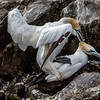 MATING GANNETS AT CAPE ST. MARY