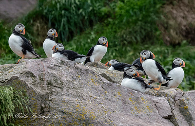 GROUP OF PUFFIN ON ROCKS NEAR ELLISTON NEWFOUNDLAND