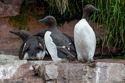 COMMON MURRE, WITLESS BAY ECOLOGICAL RESERVE