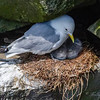 BLACK-LEGGED KITTIWAKE MOM AND BABIES
