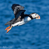 ATLANTIC PUFFIN AT TAKE-OFF