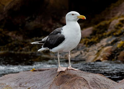 GREAT BLACK-BACKED GULL AT WITLESS BAY ECOLOGICAL RESERVE