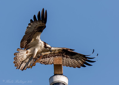 OSPREY LANDING ON NEST CAM POLE