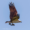 THE OSPREY IS A FISHING EAGLE