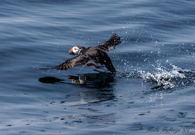 ATLANTIC PUFFIN RUNNING ON THE WATER