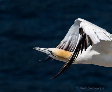 GANNET FLYING NEAR OCEAN