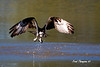 This Osprey made three dives on the local pond and cam up empty all three times.