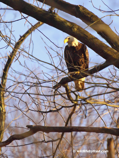 Another photo of the Eagles at Dalmatia, Pa.