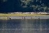 6 Juvenile Bald Eagles on Susquehanna River @ Halifax boat landing