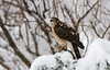 COOPERS HAWK  IN MY YARD DURING BLIZZARD OF 2016