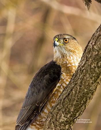 EAGLES--OSPREYS--HAWKS--OWLS--KESTRELS