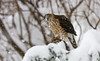 COOPERS HAWK  W/ SNOW FALLING ON IT FROM OVERHEAD BRANCH