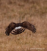 NORHTERN HARRIER HUNTING