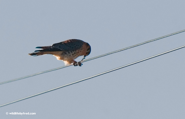 This Kestrel is eating a mouse.
