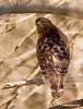 RED SHOULDERED HAWK--Photo was taken through some trees.