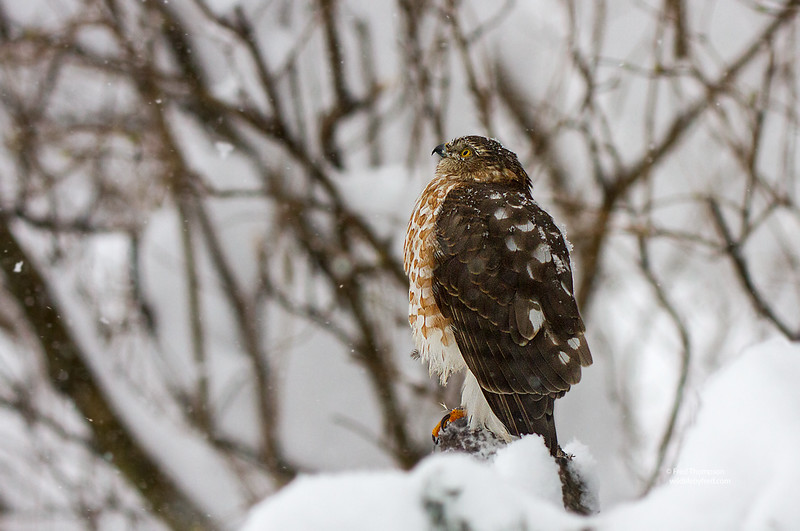 COOPERS HAWK  DURING BLIZZARD OF 2016