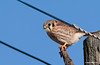 I do not like to take photos of birds sitting on wires or poles but this Kestrel just kept landing so close I couldn't resist.