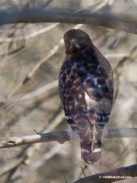 RED SHOULDERED HAWK--photo was taken through some trees