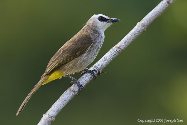 YELLOW-VENTED BULBUL (Pycnonotus goiavier)<br /> Location:  Singapore Botanic Gardens