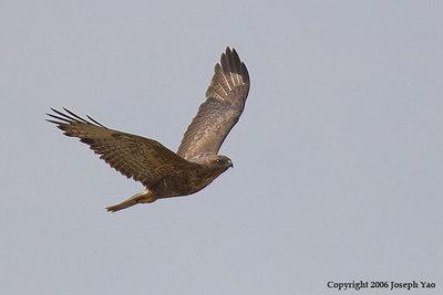 BUZZARDS, EAGLES AND HAWK-EAGLES