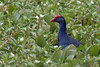 PURPLE SWAMPHEN (Porphyrio porphyrio)<br /> Location: Neo Tiew Lane 2