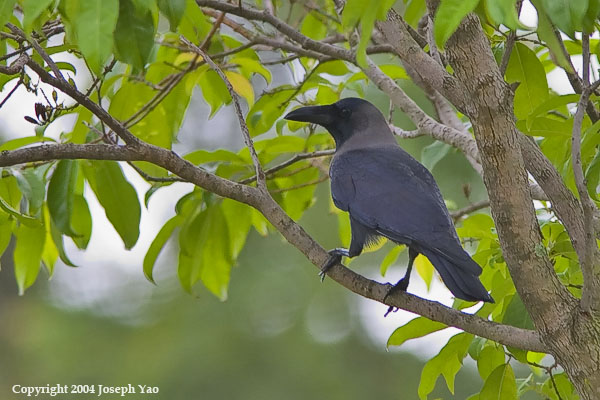 HOUSE CROW (Corvus splendens)<br /> Location:  Singapore Botanic Gardens