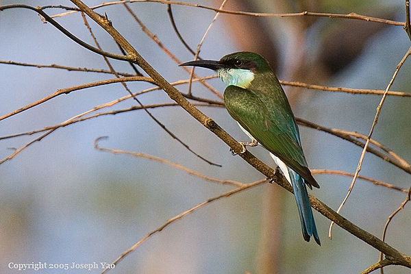 JUVENILE BLUE-THROATED BEE-EATER (Merops viridis)<br /> Location:  Lim Chu Kang Muslim Cemetery