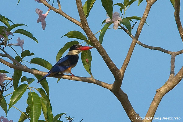 BLACK-CAPPED KINGFISHER (Ceyx erithacus)<br /> Location:  Marina City Park